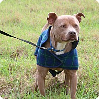 American Staffordshire Terrier/American Staffordshire Terrier Mix Dog for adoption in Gillsville, Georgia - Poco
