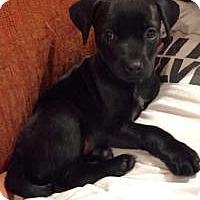 Adopt A Pet :: Little Max - Marlton, NJ