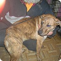 Adopt A Pet :: Ziva - Evensville, TN