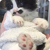 Adopt A Pet :: PICASSO - Cliffside Park, NJ