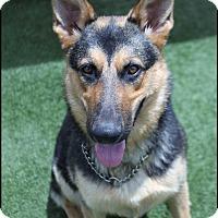 Adopt A Pet :: Shadow - Rockwall, TX