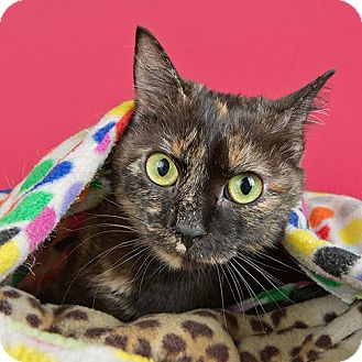 Domestic Shorthair Cat for adoption in Wilmington, Delaware - Azelin