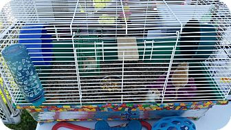 Gerbil for adoption in Greenfield, Indiana - Gerbils (female)