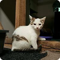 Domestic Mediumhair Kitten for adoption in Saltsburg, Pennsylvania - Stewie