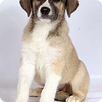 Adopt A Pet :: Hope (Whisper) Lab Shepherd - St. Louis, MO