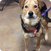 Shepherd (Unknown Type) Mix Dog for adoption in El Paso, Texas - Paige