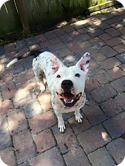 American Bulldog Mix Dog for adoption in Orlando, Florida - MAGGIE