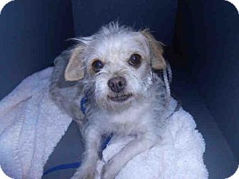 Chihuahua/Terrier (Unknown Type, Medium) Mix Dog for adoption in Long Beach, California - A581510