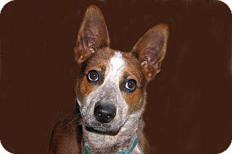 Blue Heeler/Border Collie Mix Dog for adoption in Ruidoso, New Mexico - Alpha