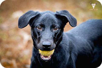 Labrador Retriever Mix Dog for adoption in Jackson, Tennessee - Gwen Stefani