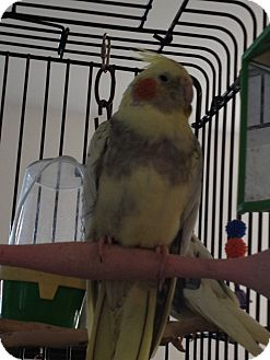 Cockatiel for adoption in Punta Gorda, Florida - Abby