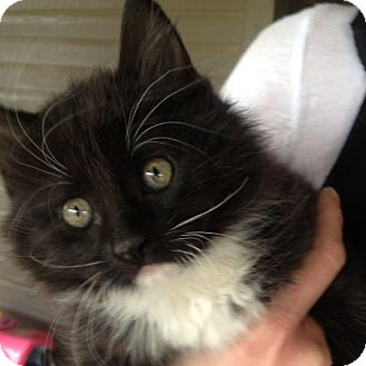 Domestic Longhair Kitten for adoption in Weatherford, Texas - Luke