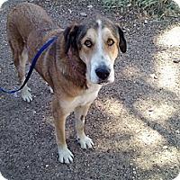 Adopt A Pet :: Cowboy - Sacramento, CA