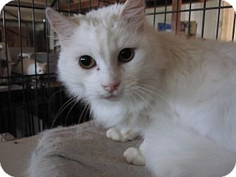 Domestic Mediumhair Cat for adoption in San Ramon, California - Blanca