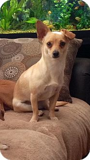 Chihuahua Mix Dog for adoption in Rio Rancho, New Mexico - Ellie Mae