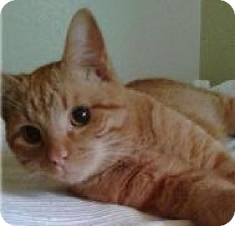 Domestic Shorthair Cat for adoption in Houston, Texas - Charlie