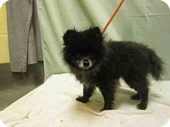 Pomeranian Dog for adoption in Centreville, Virginia - Teddy
