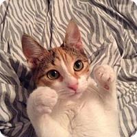 Adopt A Pet :: Sandra - Spayed Kitten - Hillside, IL