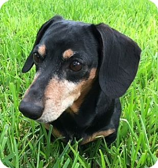 Dachshund Dog for adoption in Humble, Texas - Oscar