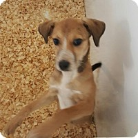 Adopt A Pet :: Male heeler mix - Cherry Hill, NJ