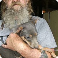 Miniature Pinscher/Chihuahua Mix Puppy for adoption in Evensville, Tennessee - Marley