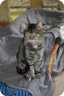 Domestic Shorthair Cat for adoption in Ashland, Ohio - Mickey