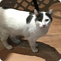 Domestic Mediumhair Cat for adoption in Philadelphia, Pennsylvania - Grayson