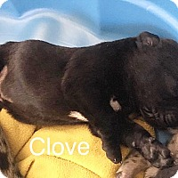 Pit Bull Terrier Mix Puppy for adoption in Durham, North Carolina - Clove