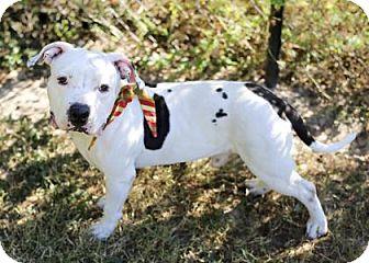 Bulldog Mix Dog for adoption in Lakeland, Florida - Stitch