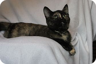 Domestic Shorthair Cat for adoption in Faribault, Minnesota - keya