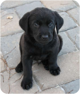 Labrador Retriever/Golden Retriever Mix Puppy for adoption in West Palm Beach, Florida - BERT