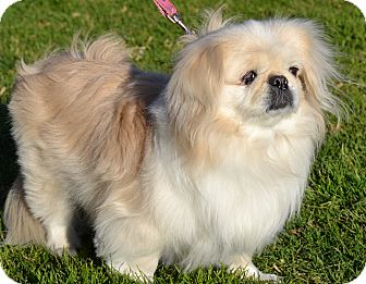 Pekingese Dog for adoption in Simi Valley, California - Sugar