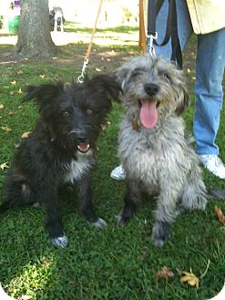Tibetan Terrier/Border Terrier Mix Dog for adoption in Van Nuys, California - *URGENT*Smokey &  Bandit