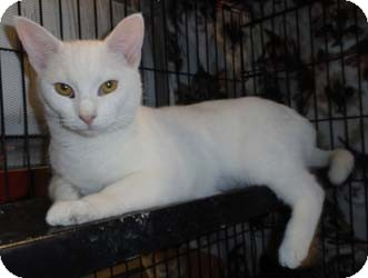 Domestic Shorthair Kitten for adoption in Merrifield, Virginia - Jayden