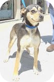 Shepherd (Unknown Type)/Australian Shepherd Mix Dog for adoption in Staunton, Virginia - Clover (Reduced $300)