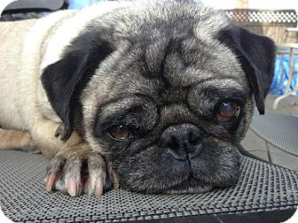 pug rescue ny cody adopted dog new york ny pug 9818
