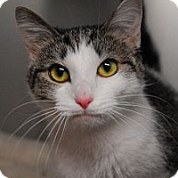 Adopt A Pet :: Callie - Lunenburg, MA