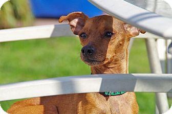 Miniature Pinscher Dog for adoption in Virginia Beach, Virginia - Niko