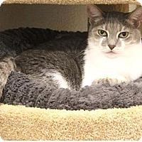 Domestic Shorthair Cat for adoption in Boca Raton, Florida - Fiona