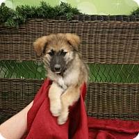 Adopt A Pet :: PHOEBE - Rancho Cucamonga, CA