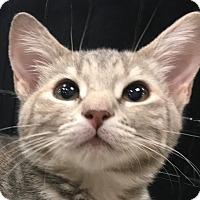 Adopt A Pet :: Katniss - Winchester, CA