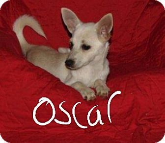 Pomeranian/Chihuahua Mix Puppy for adoption in Albany, North Carolina - Oscar