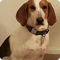 Coonhound Dog for adoption in Charlottesville, Virginia - Sunny