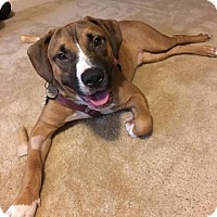 Pit Bull Terrier/Boxer Mix Dog for adoption in Raleigh, North Carolina - Benny