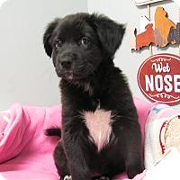 Adopt A Pet :: Mattie - Groton, MA