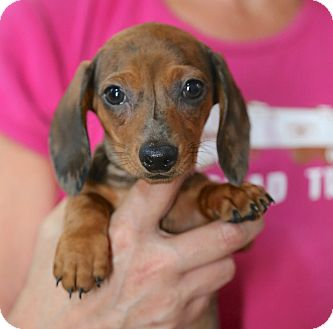 Dachshund Puppy for adoption in Glastonbury, Connecticut - GRETCHEN
