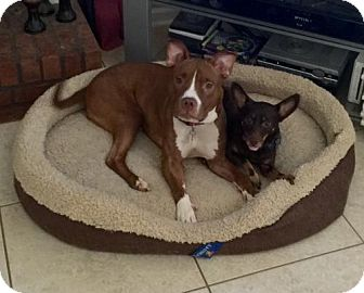 American Staffordshire Terrier Dog for adoption in Atlanta, Georgia - Penny