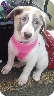 German Shepherd Dog/Great Pyrenees Mix Dog for adoption in Seymour, Connecticut - Ginger: Sweet Puppy! (PA)