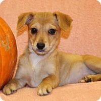 Terrier (Unknown Type, Medium) Puppy for adoption in Modesto, California - Ginger