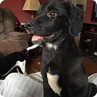 Australian Shepherd Mix Dog for adoption in waterbury, Connecticut - Beast